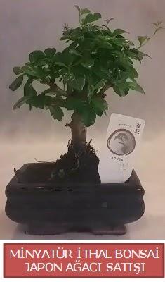 Küçük görsel bonsai japon ağacı bitkisi  Zonguldak çiçek , çiçekçi , çiçekçilik