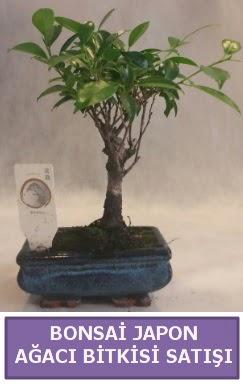 İthal Bonsai japon ağacı bitkisi satışı  Zonguldak çiçekçi mağazası