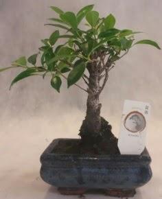 Bonsai ağacı japon ağaç bitkisi  Zonguldak çiçek yolla
