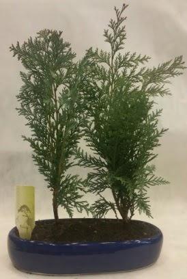 SINIRLI SAYIDA Selvi Ağacı bonsai ikili  Zonguldak ucuz çiçek gönder