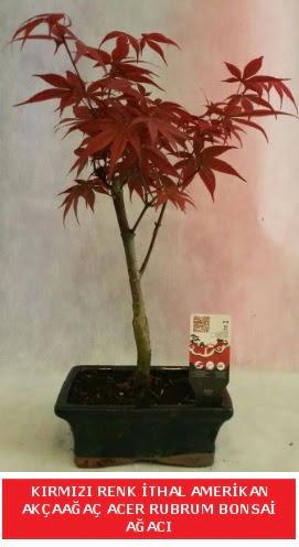İTHAL ACER RUBRUM BONSAİ AĞACI  Zonguldak çiçek gönderme sitemiz güvenlidir