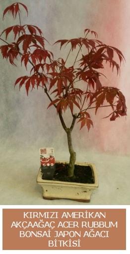 Amerikan akçaağaç Acer Rubrum bonsai  Zonguldak uluslararası çiçek gönderme