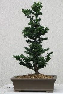 Çam ağacı bonsai bitkisi satışı  Zonguldak ucuz çiçek gönder