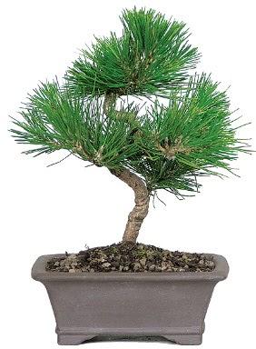 Çam ağacı bonsai japon ağacı bitkisi  Zonguldak çiçek gönderme