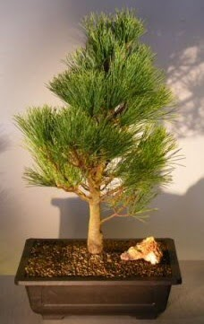 Çam ağacı japon ağacı bitkisi bonsai  Zonguldak ucuz çiçek gönder