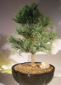 Çam ağacı bonsai bitkisi satışı  Zonguldak çiçekçi telefonları