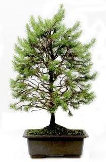 *** STOKTA YOK - Çam ağacı bonsai bitkisi satışı  Zonguldak anneler günü çiçek yolla