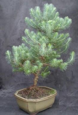 Bonsai çam ağacı japon ağacı bitkisi  Zonguldak çiçek gönderme sitemiz güvenlidir