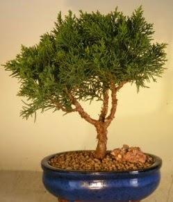 Servi çam bonsai japon ağacı bitkisi  Zonguldak çiçek yolla