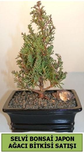 Selvi çam japon ağacı bitkisi bonsai  Zonguldak ucuz çiçek gönder