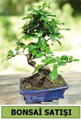 Çam bonsai japon ağacı satışı  Zonguldak çiçek satışı