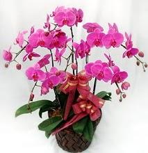 Sepet içerisinde 5 dallı lila orkide  Zonguldak çiçekçi telefonları