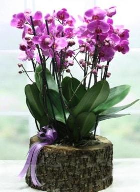 Kütük içerisinde 6 dallı mor orkide  Zonguldak çiçekçi telefonları