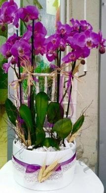 Seramik vazoda 4 dallı mor lila orkide  Zonguldak online çiçek gönderme sipariş