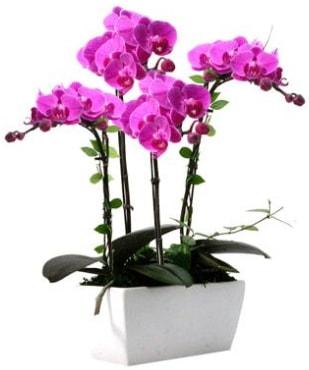 Seramik vazo içerisinde 4 dallı mor orkide  Zonguldak çiçek satışı