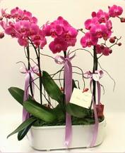 Beyaz seramik içerisinde 4 dallı orkide  Zonguldak çiçekçi telefonları