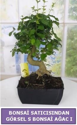 S dal eğriliği bonsai japon ağacı  Zonguldak çiçek satışı