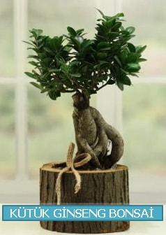 Kütük ağaç içerisinde ginseng bonsai  Zonguldak çiçek gönderme sitemiz güvenlidir