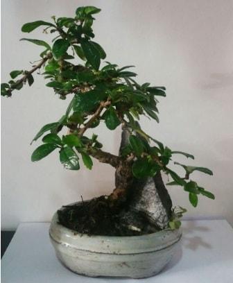 S şeklinde ithal bonsai ağacı  Zonguldak çiçek yolla