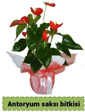 Antoryum saksı bitkisi satışı  Zonguldak çiçek , çiçekçi , çiçekçilik