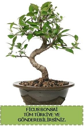 Ficus bonsai  Zonguldak çiçek gönderme sitemiz güvenlidir