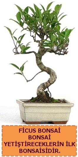 Ficus bonsai 15 ile 25 cm arasındadır  Zonguldak çiçek yolla