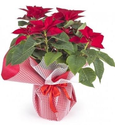 Atatürk çiçeği saksı bitkisi  Zonguldak çiçek gönderme sitemiz güvenlidir