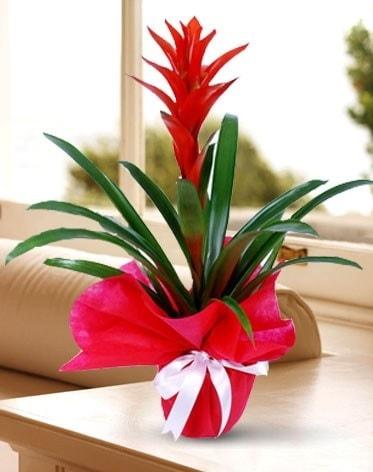 Guzmanya Saksı Çiçeği  Zonguldak çiçek yolla