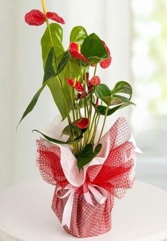 Anthurium Saksı Çiçeği  Zonguldak hediye çiçek yolla