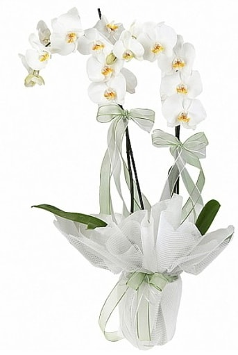 Çift Dallı Beyaz Orkide  Zonguldak cicekciler , cicek siparisi