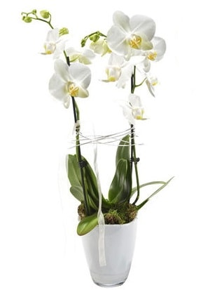 2 dallı beyaz seramik beyaz orkide saksısı  Zonguldak çiçek gönderme sitemiz güvenlidir