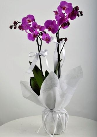Çift dallı saksıda mor orkide çiçeği  Zonguldak çiçek siparişi vermek