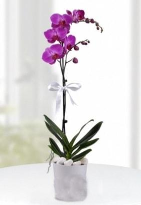 Tek dallı saksıda mor orkide çiçeği  Zonguldak çiçekçiler