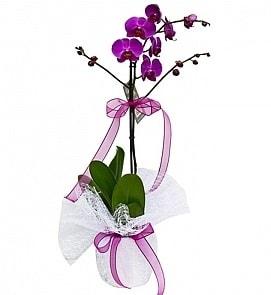 Tek dallı saksıda ithal mor orkide çiçeği  Zonguldak çiçekçiler