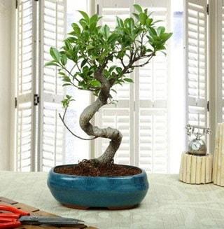 Amazing Bonsai Ficus S İthal  Zonguldak internetten çiçek siparişi