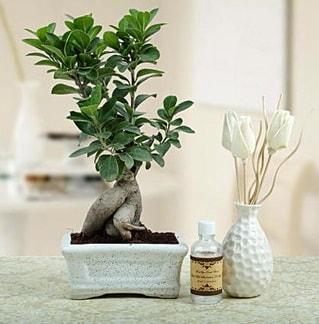 Ginseng ficus bonsai  Zonguldak çiçekçiler
