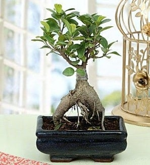 Appealing Ficus Ginseng Bonsai  Zonguldak cicekciler , cicek siparisi