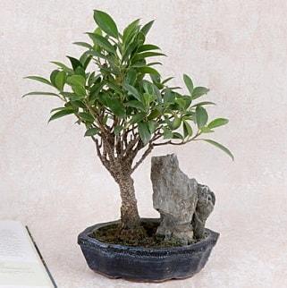 Japon ağacı Evergreen Ficus Bonsai  Zonguldak çiçek gönderme sitemiz güvenlidir