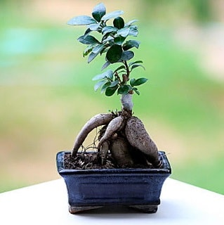 Marvellous Ficus Microcarpa ginseng bonsai  Zonguldak çiçek siparişi vermek