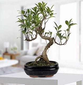 Gorgeous Ficus S shaped japon bonsai  Zonguldak çiçek yolla , çiçek gönder , çiçekçi