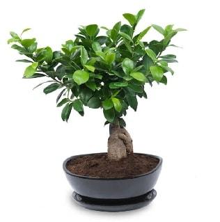 Ginseng bonsai ağacı özel ithal ürün  Zonguldak internetten çiçek satışı