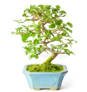 S zerkova bonsai kısa süreliğine  Zonguldak çiçekçi mağazası