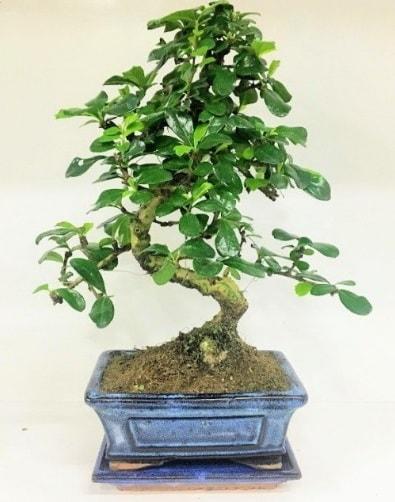 S Bonsai japon ağacı bitkisi  Zonguldak uluslararası çiçek gönderme
