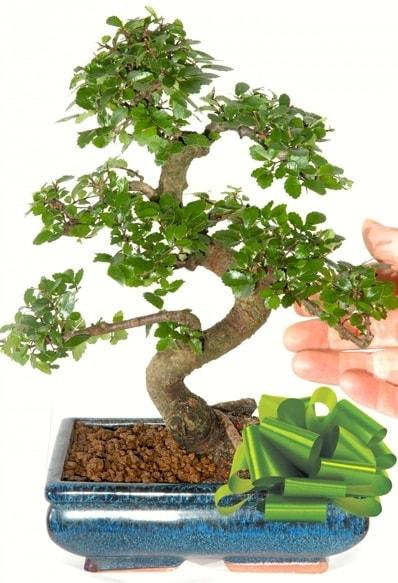 Yaklaşık 25 cm boyutlarında S bonsai  Zonguldak çiçek siparişi sitesi