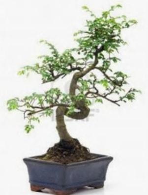 S gövde bonsai minyatür ağaç japon ağacı  Zonguldak çiçek satışı