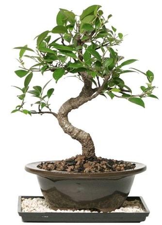 Altın kalite Ficus S bonsai  Zonguldak ucuz çiçek gönder  Süper Kalite