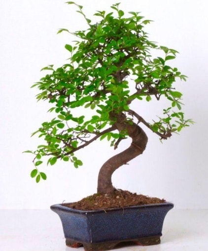 S gövdeli bonsai minyatür ağaç japon ağacı  Zonguldak çiçek gönderme sitemiz güvenlidir