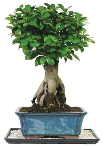 Bonsai Ginsing Grafted Ficus Bonsai  Zonguldak çiçek yolla