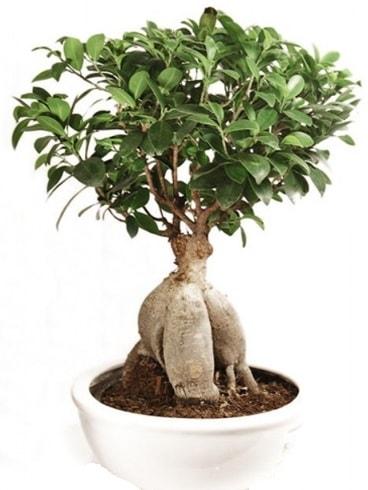 Ginseng bonsai japon ağacı ficus ginseng  Zonguldak çiçekçi mağazası